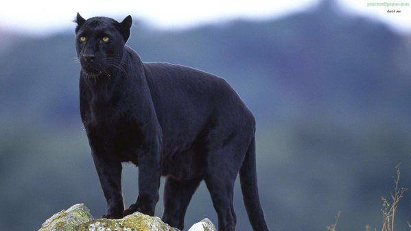 Fascinating Cat Puma