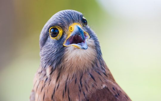 The Peregrine Falcon