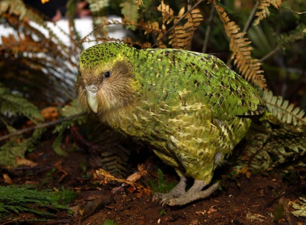 An Amazing Kakapo: The critically endangered New Zealand parrot.