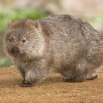 Wombat – Fact file about the Wombat