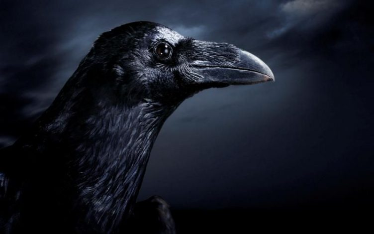 Bird Revens- Are crows and ravens the same bird ?