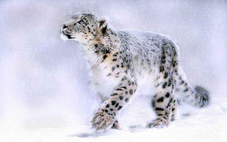 Snow Leopard: The predatory mountain cat