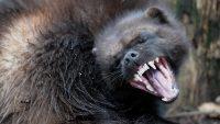 wolverine | Description, Habitat, Photos, & Facts