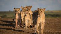 Lion Research Safari Kenya
