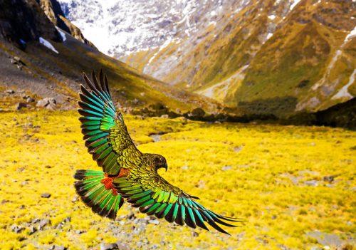 Kea-The Kiwi Mountain Parrot