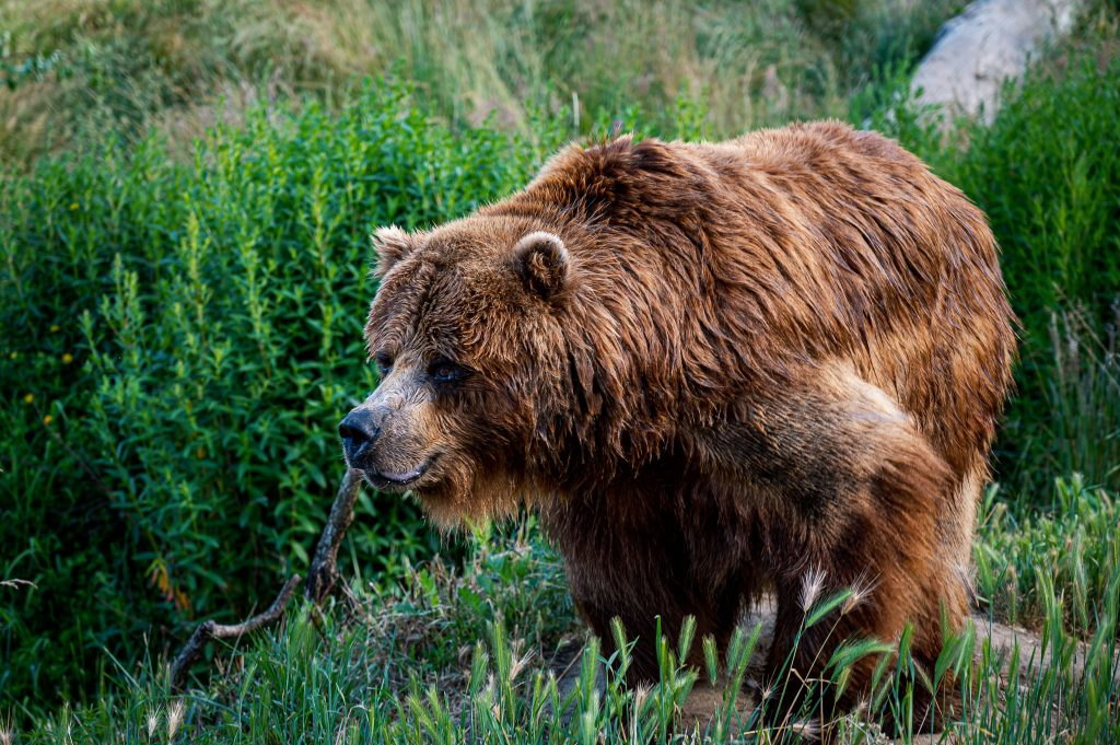 Grizzly Bear Facts |- Animal Fact Guide