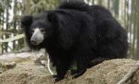 Indian Sloth Bear Facts
