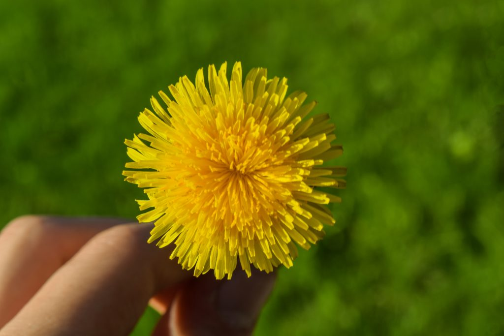 Most Potential Health Benefits of Dandelion