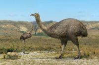 Moa-The unique, flightless bird