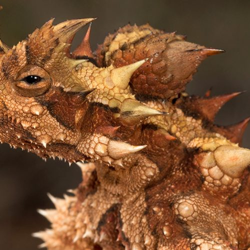 Let's Meet Mr. Spikey Thorny Devil
