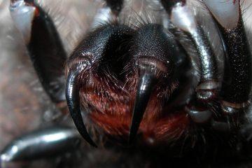 Deadliest Spider of Australia – Sydney Funnel Web Spider