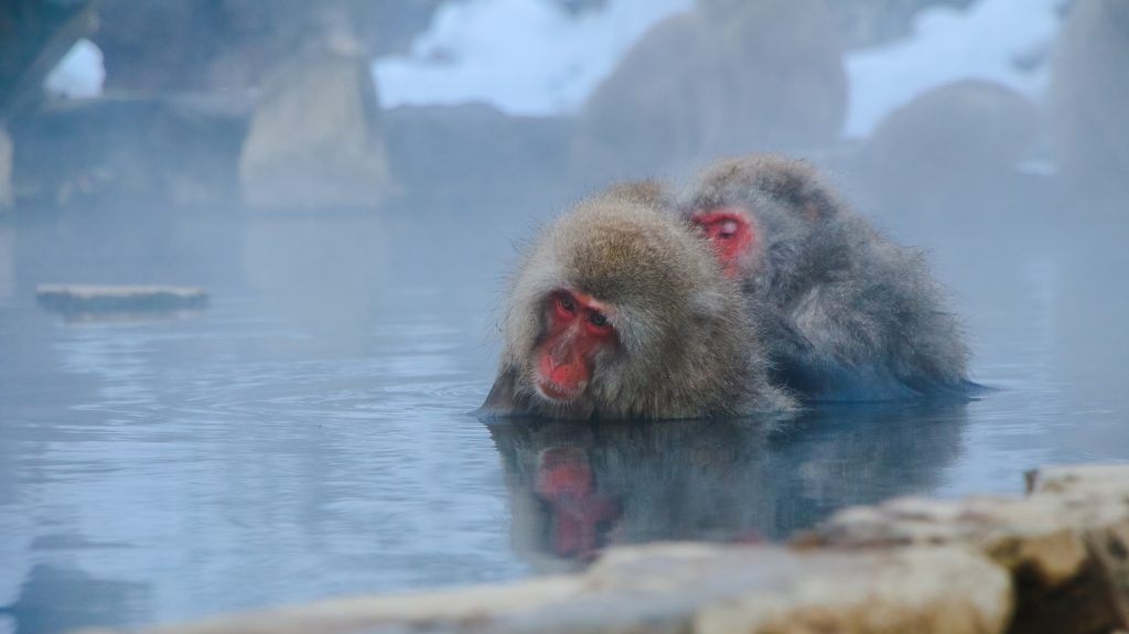 Snow Monkeys In Nagano, Japan
