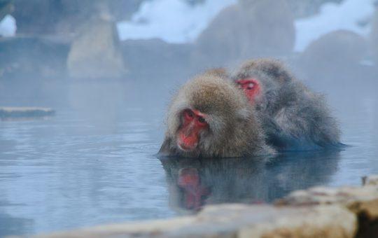 Snow Monkeys In Nagano, Japan