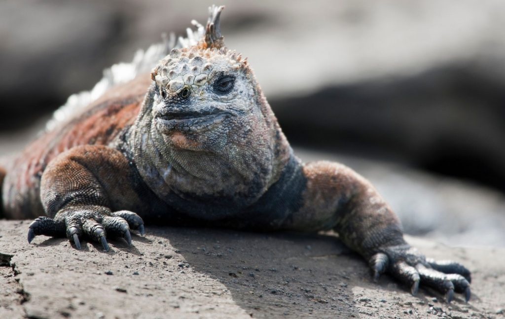 Interesting Facts about Marine Iguana
